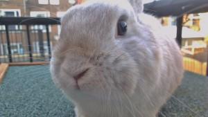 'Wilde' konijnen op de foto krijgen blijkt nog een hele klus. Ze zijn erg schuw en slaan snel op de vlucht. Gelukkig vindt mijn konijn Dennis het totaal geen punt om even model te staan.