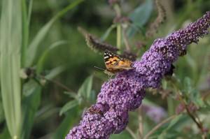 Vlinder roltong