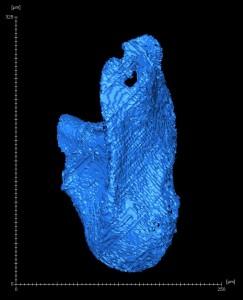 De asymmetrisch gevormde penis van D. pachea